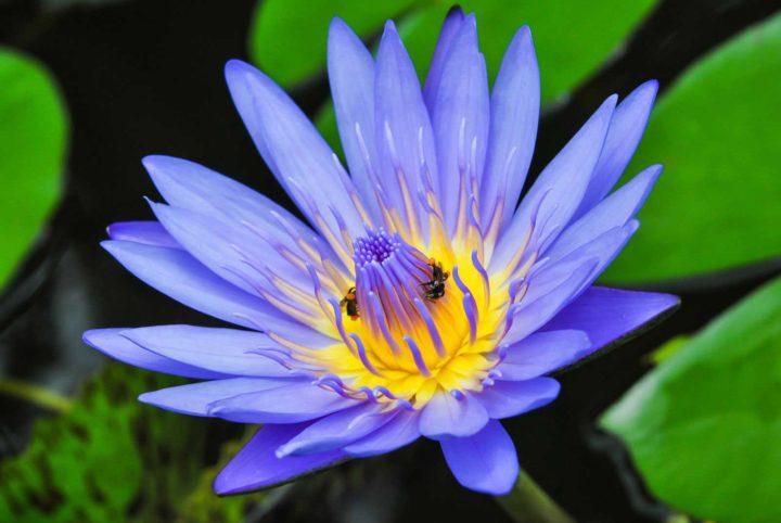 Flor de Lotus significado