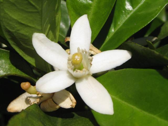 significado da flor de laranjeira